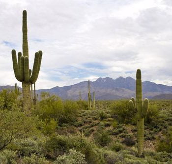 Saguaro in the Arizona desert.