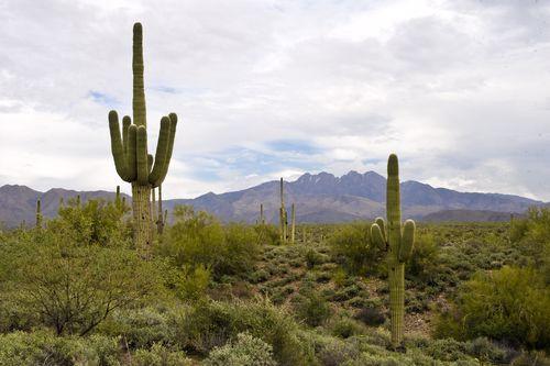 Saguaro in the Arizona desert.